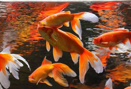 Aquaculture magazine incorporating aquaculture for Golden ornamental pond fish